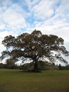 fig_tree1