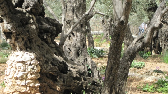 The Garden of Gethsemane (February, 2010, Shelli)