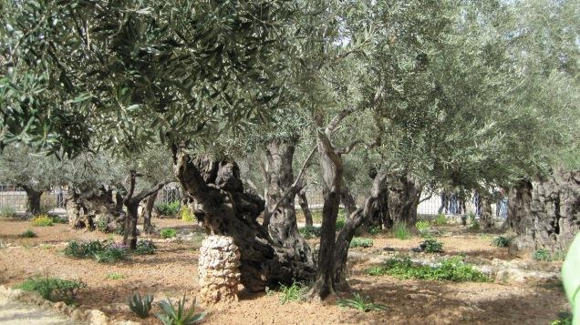 Garden of Gethsemane 07 (New Shoots).jpg